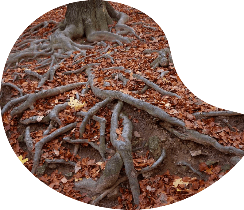 Tree with large roots growing over the ground