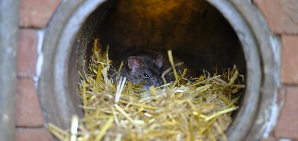 Rat in external drain pipe