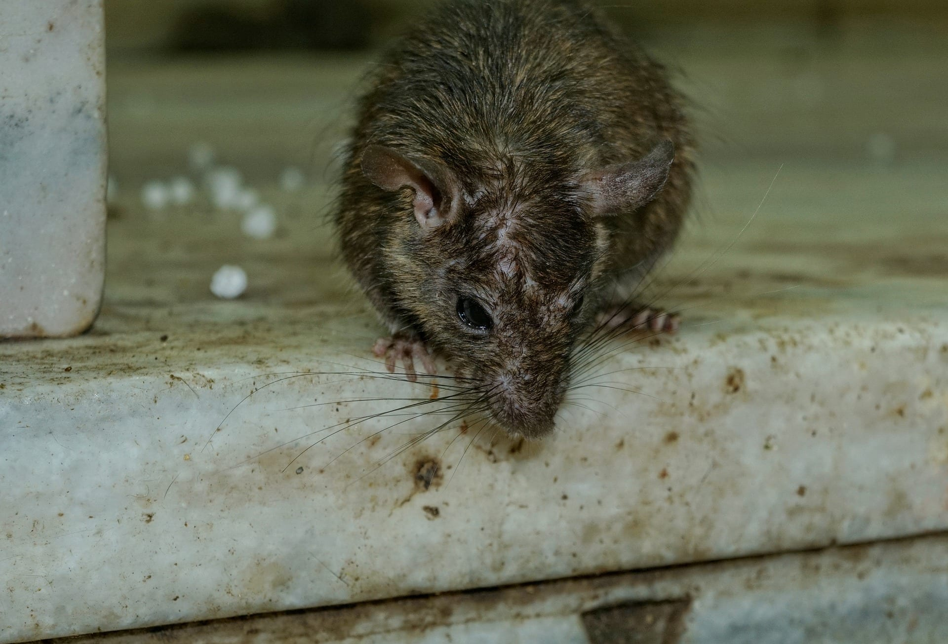 rat in drain services poole