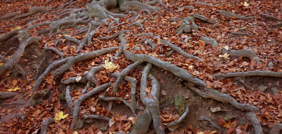 Tree roots growing across the ground